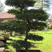Hainbuche als Groß-Bonsai 3m
