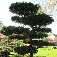Groß-Bonsai - Etagen schön sichtbar