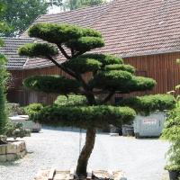 Großer Eiben-Bonsai