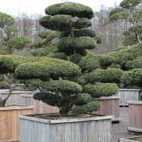 Japanischer Eiben-Bonsai alt