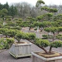 Japanischer Eiben-Bonsai jun
