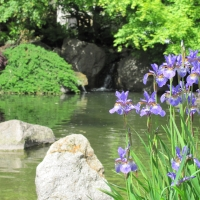 Irisblüte im Japangarten