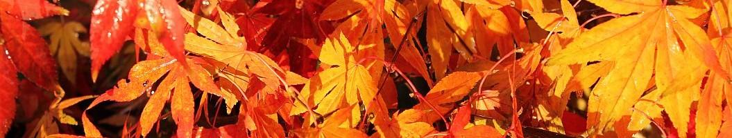 japanische Gärten mit einem Feuerwerk  aus Ahornblättern erfreuen das Auge.