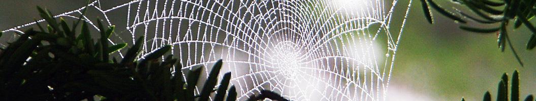 Spinnennetz mit Tau im Japangarten Kyoto