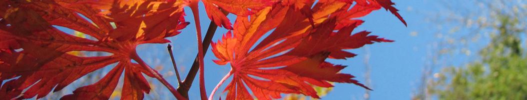 Japanischer Ahorn im Japangarten Firma Naturform